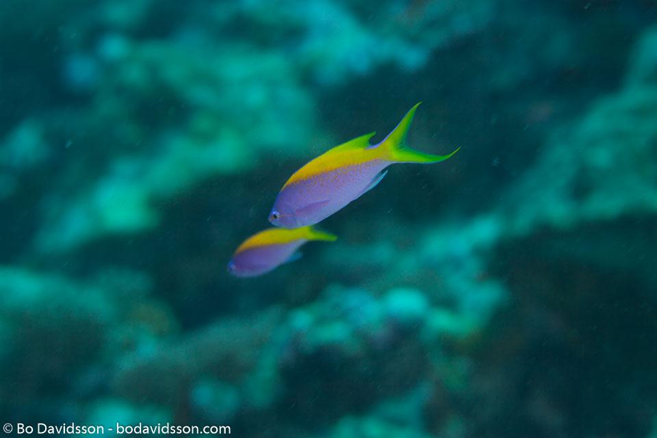 BD-130711-Maldives-0175-Pseudanthias-evansi-(Smith.-1954)-[Yellowback-anthias].jpg
